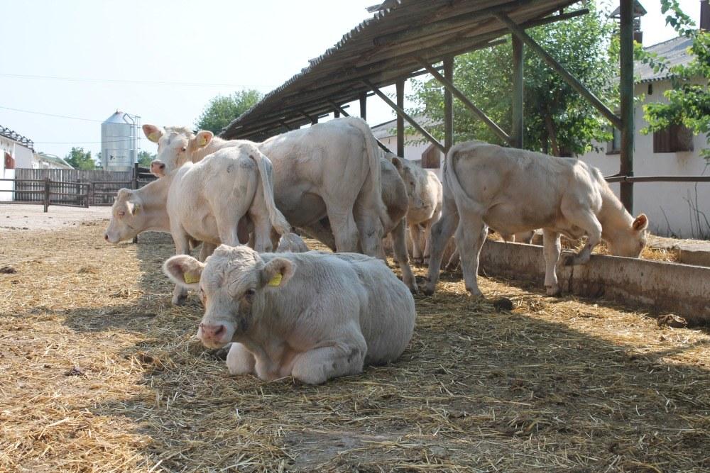 Un gălăţean creşte vaci de peste o mie de euro bucata, într